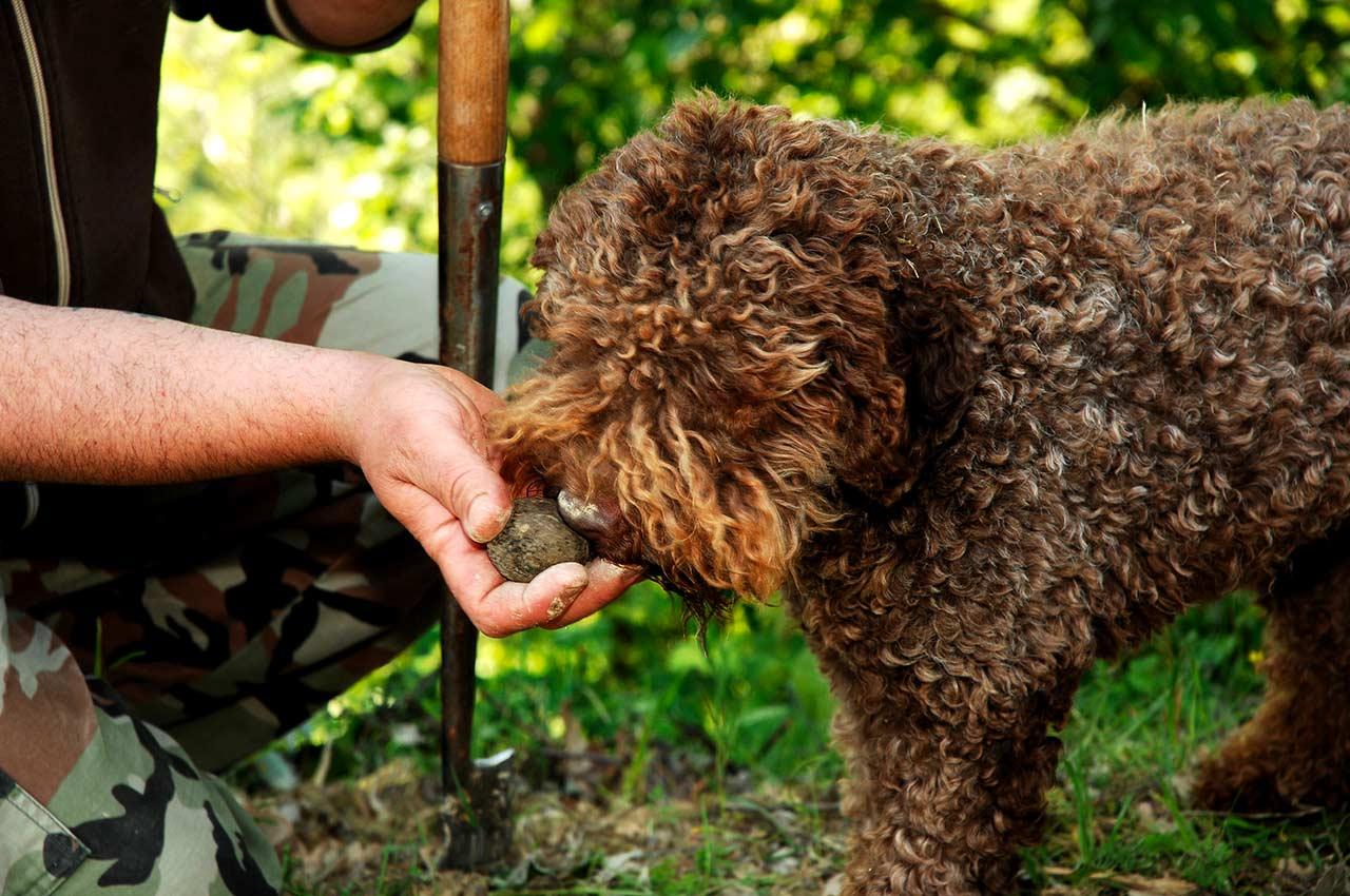 Qual è il miglior cane da tartufo? Le razze più indicate e le caratteristiche di un buon cercatore